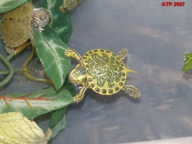 Baby Red Eared Slider Turtles   back to gallery