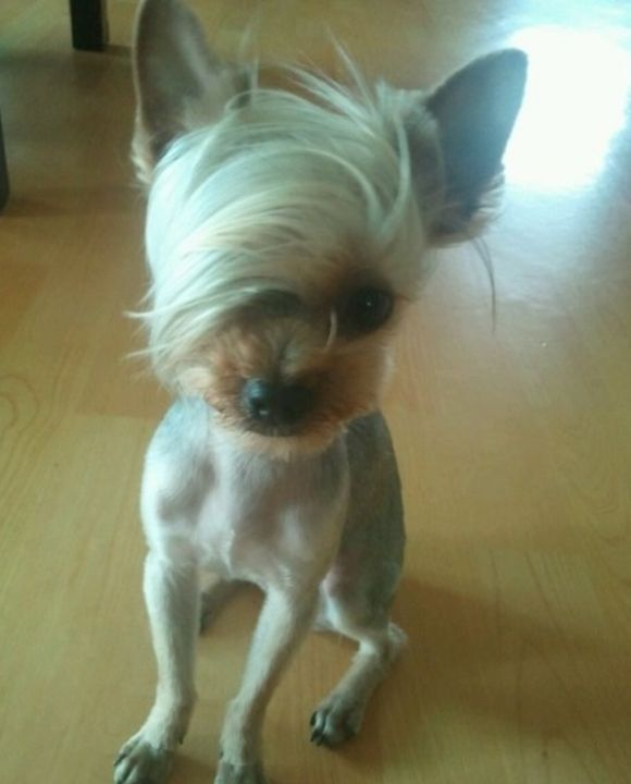 Emo hair dog Dani McCurtain  OMG IT KIND OF LOOKS LIKE Marc Camprub Mitchell  Cute Yorkies