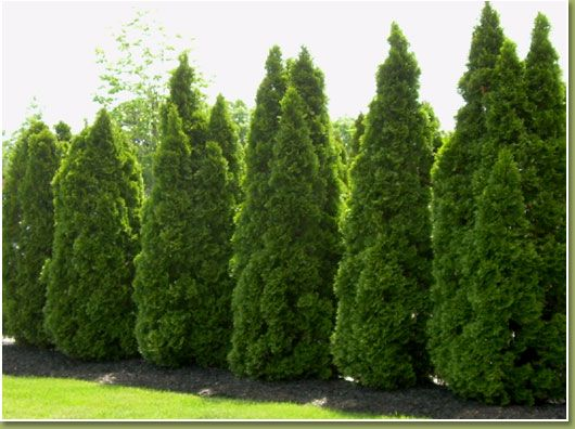 "Emerald Green Arborvitae. Great ""green wall fence"", for privacy in your backyard."