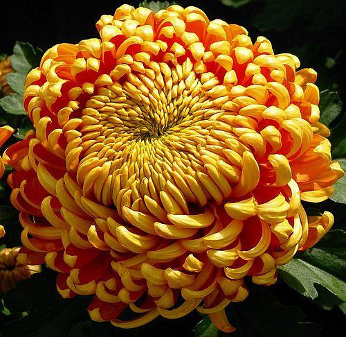 Crisantemo (Chrysanthemum spp.)