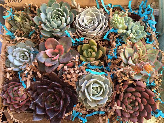 La Fleur Succulente Suculento regalo madres día colección  Plantas suculentas están entre los más resistentes, más resistentes a la sequía en el mundo y muy fácil de mantener.   Nos especializamos en colecciones. Nuestras colecciones son un surtido de una docena hermosas 2.5 premium arraigada, rara y variedades híbridas en una caja de regalo hermosa tela floral. Las selecciones pueden variar levemente debido a la disponibilidad, intentamos el mismo surtido como en la imagen de la nave. Mano…