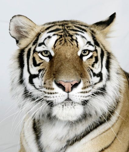 42 Best Images About Tigers On Pinterest