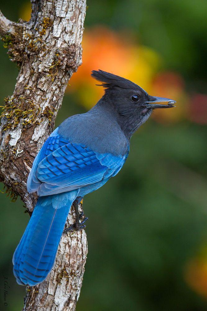 Steller's Jay. Steller's Jay. El arrendajo de Steller o chara crestada es una especie de ave paseriforme de la familia de los córvidos de vivo color azulado ampliamente distribuido por Norteamérica y Centroamérica. SB