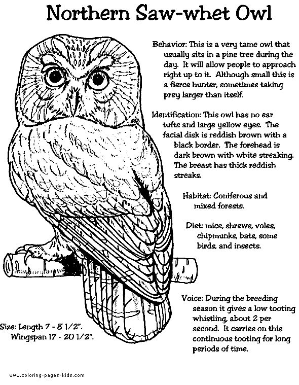 northern saw whet owl color page animal coloring pages coloring pages for kids thousands of free printable coloring pages for kids - Owls Coloring Pages 2