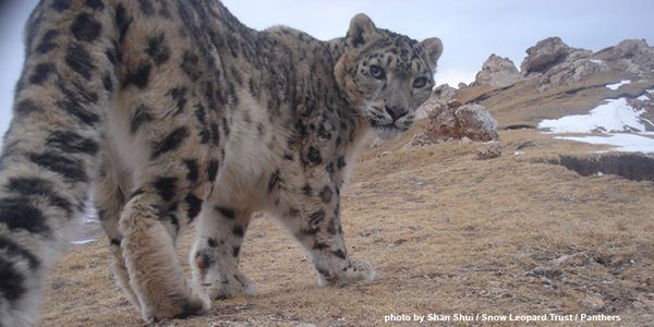 petition: Don't Let the Snow Leopard Disappear