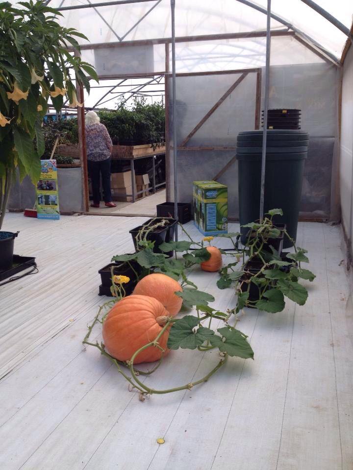 Pumpkins #Auto-Pot #Hydro #Polytunnel