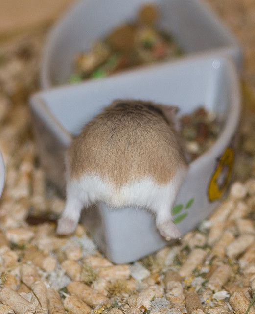 hamster chowing down