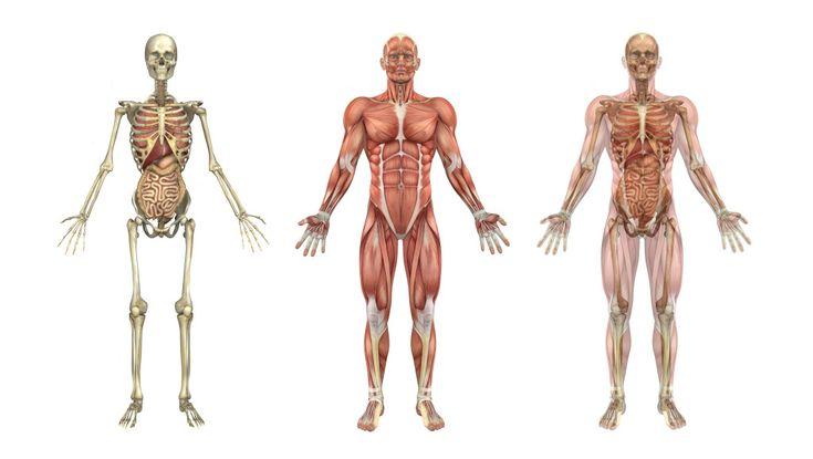 human skeleton, muscles, and internal organs | skeleton muscles, Skeleton