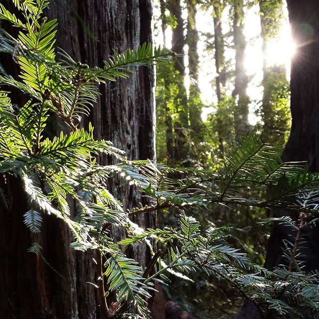 Caliparks : Henry Cowell Redwoods State Park