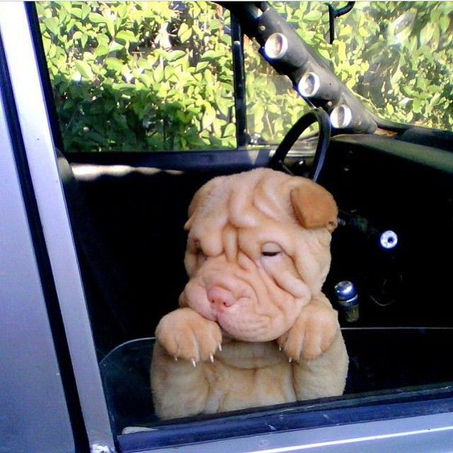 Chinese sharpei puppy
