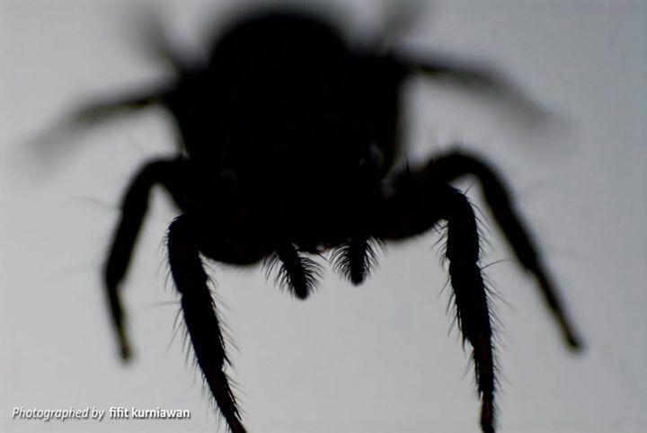 Spider shiluete