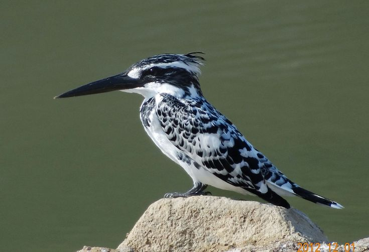 Kingfisher (bird)   Pied Kingfisher (Ceryle rudis) Speckled and barred black and white ...