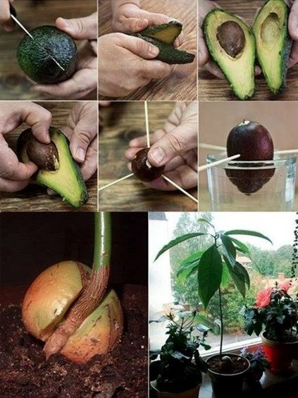 How to grow an Avocado - Follow these instructions beginning at step 4/5