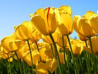 The tulip , a holy symbol in Iran, is immortalized on the country's national flag. And though we're used to hearing about the fields of tulips in Holland, the Iberian peninsula actually gave birth to the bulbs we know and love.