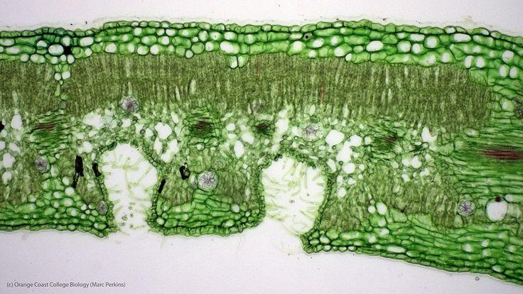nerium oleander microscopy leaf - Căutare Google