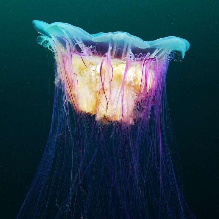 La méduse à crinière de lion : Cyanea capillata
