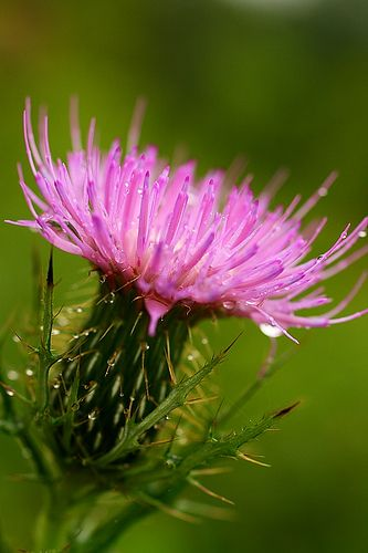 """The Legend of the thistle  Scottish motto: """"Nemo me impune lacessit"""", meaning """"No-one harms me without punishment"""","""