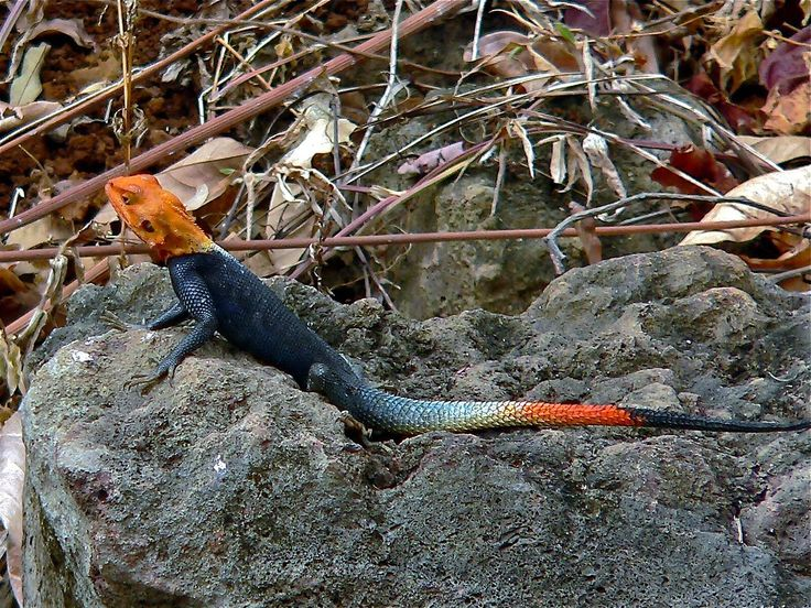 Red Headed Rock Agama Lizard Cameroon Lizard Animals Reptiles And Amphibians