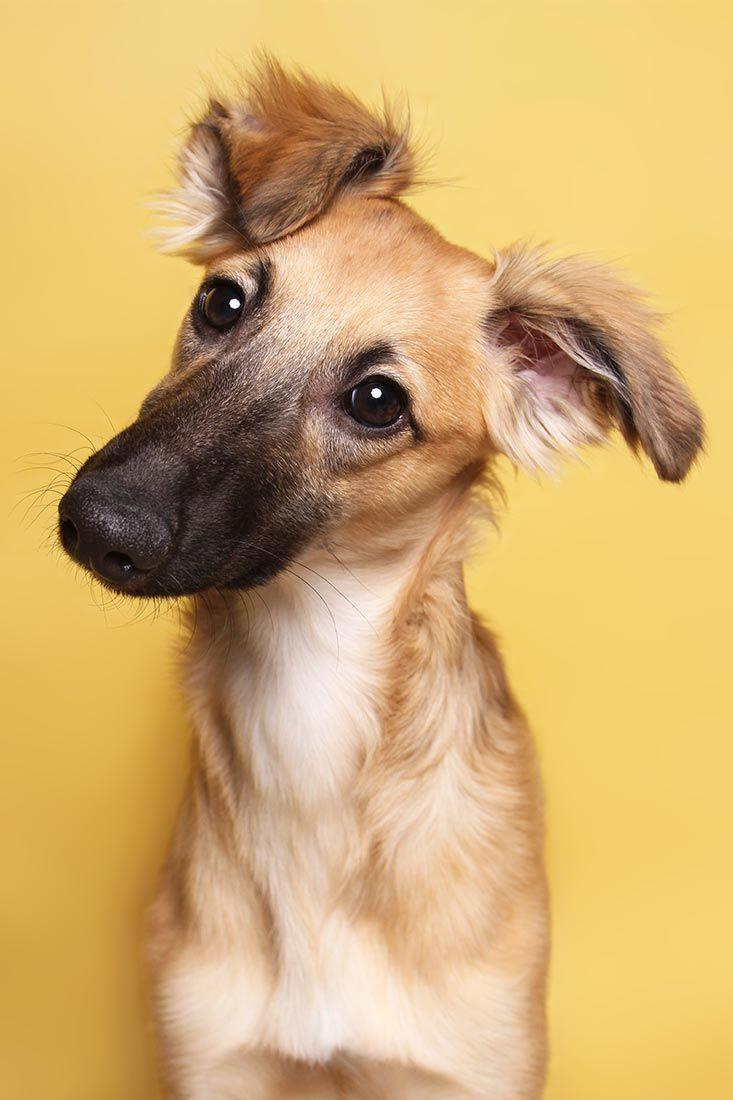 Silken Windsprite Cooper Mit 5 Monaten So Suss Mittelgrosser Windhund Mit Langem Seidig Weichem Fell Welpe Puppy Windhund Hunde Babys Hundebabys Hunde