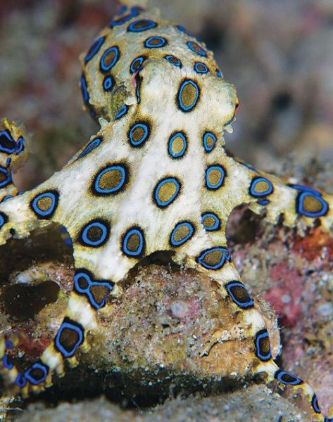 Beautiful but deadly blue-ringed octopus - Anilao, Philippines - The blue-ringed octopus is 5 to 8 inches, but its venom is powerful enough to kill humans and there is no blue-ringed octopus anti-venom available.