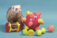 Why you need to know if your ferret is deaf.
