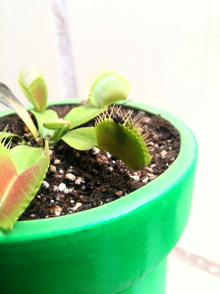 Igor, Dionaea muscipula, atrapamoscas, planta carnívora