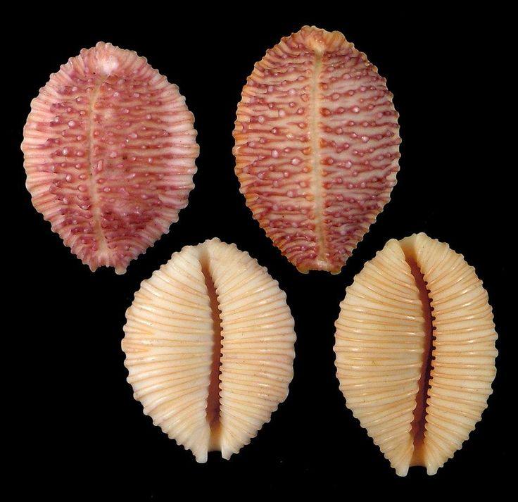 265 best gorgeous seashells images on Pinterest | Shells, Sea shells ...