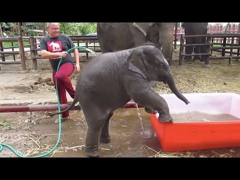 """Weekend Fun: You""""ll Fall In Love With This Clumsy & Hugely Huggable Baby Elephant! -  http://www.foodsniffr.com/blog/weekend-fun-youll-fall-in-love-with-this-clumsy-hugely-huggable-baby-elephant/   Fun Times For This Lovely Baby Elephant: It's bath time now!"""