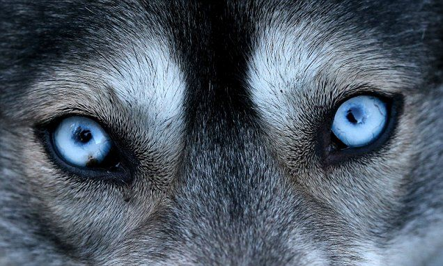 The Secret Behind Siberian Huskies Piercing Blue Eyes Siberian