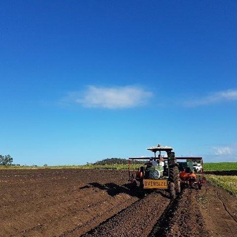 🚜👨🌾☀️🍠 #behindthescenes shot of our sweet potato planting team #queensland #aussiefarming #farming #sweetpotato #bundabergregion #freshproduce #healthyeating #eatfresh