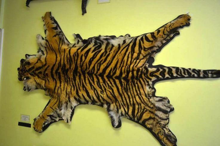 Photograph: The Tiger Skin Display; Date: February 12, 2016; Location: Dublin Zoo, Phoenix Park, Dublin Zoo; Photographer: Jedd Cabreza Photography