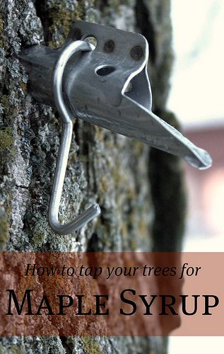 HOW TO TAP YOUR TREES FOR MAPLE SYRUP -Posted on MARCH 5, 2012 I can do this in a few years with my own maple trees! Yay :)