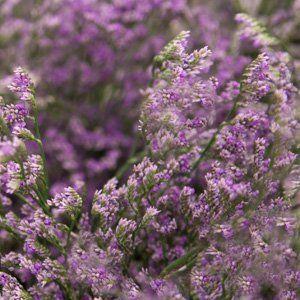 LIMONIUM EMILLE TALL BLUE - Garden Express