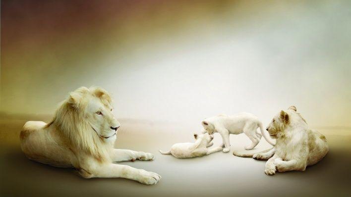 природа животные лев nature animals lion