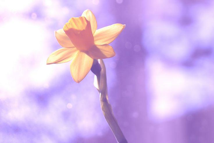Spring (Narcis in de lente)