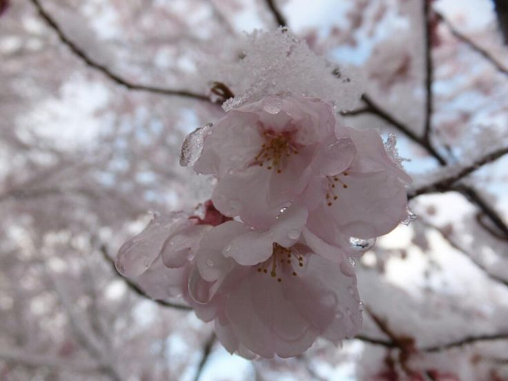 Snow on Cherry Blossoms, Nagano, Japan by https://twitter.com/inu_tsugura #Cherry_Blossoms #Snow