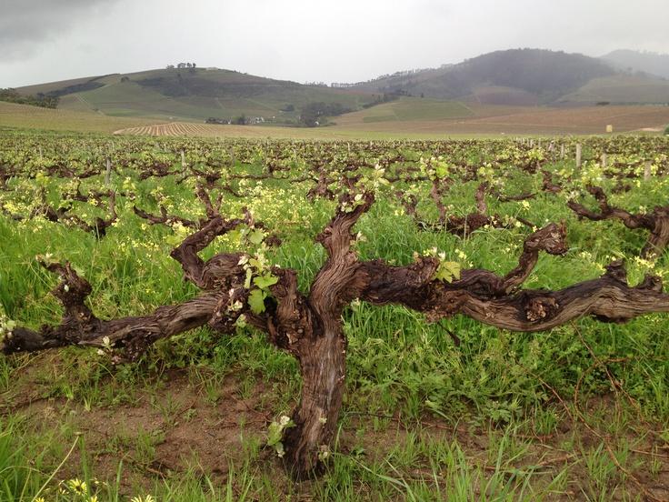 One of the oldest vines of @zavinehugger,  great vineyards #in Stellenbosch here @reynekewines