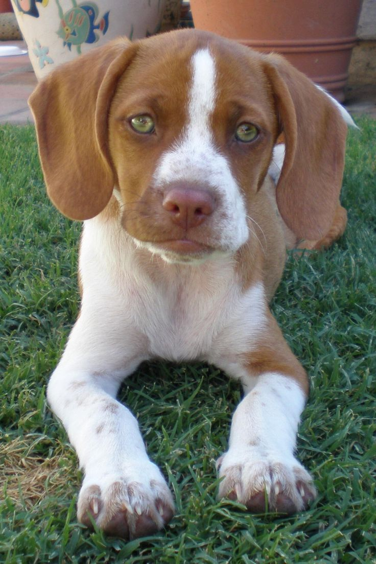 Best 25+ Lemon Beagle ideas on Pinterest | Beagle puppy ...