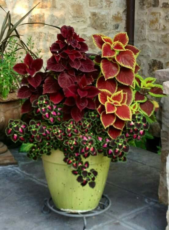 Assorted coleus provides plenty of color even without blooms.