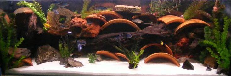 55 Gallon Tank: Cichlid Tank - Members Fish Tanks - 83900
