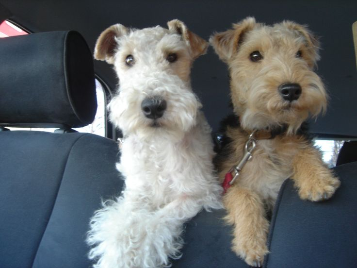 wire fox terrier haircut wire haired terrier hair cut 17 best images about airedale 5700