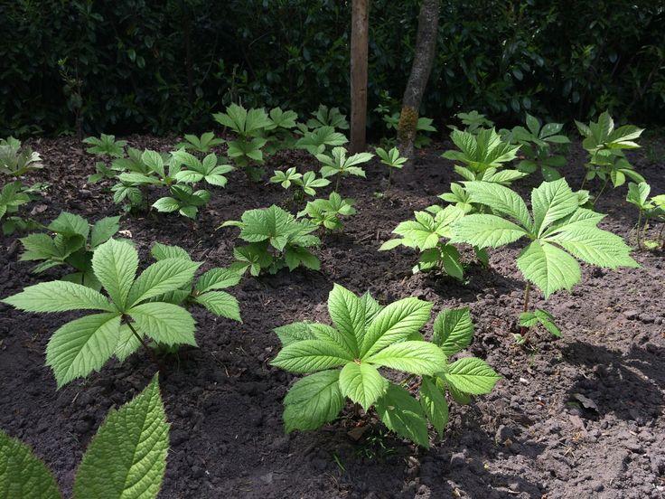 Rodgersia sambucifolia, oftewel Kijkblad. Een prachtige grote bladplant voor in de schaduw