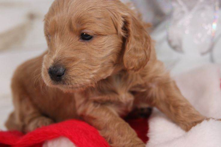 Mini Dogs For Sale Uk