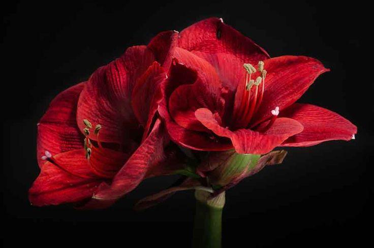 Amaryllis. Image©K Woodland/K Woodland Photography.