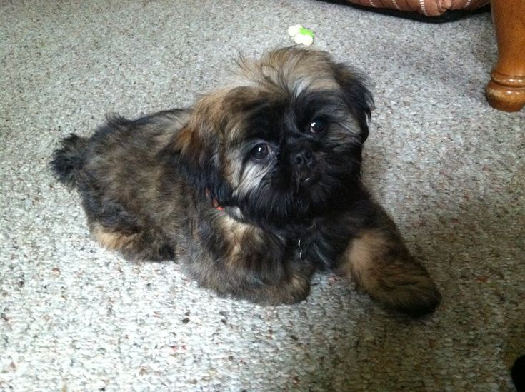 245 Best Images About Shih Tzu S Amp Teddy Bears ️ ️ On