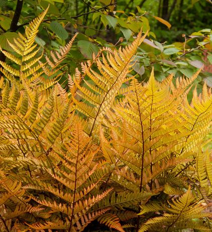 Ferns can exhibit beautiful variations in color. These autumn ferns (Dryopteris erythrosora, zones 5 to 9) are a breathtaking case in point. The growth on these ferns emerges as a beautiful bronzy orange before turning light green. Colorful new growth continues to emerge sporadically throughout the growing season.