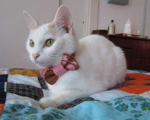 Cat bow tie + pattern