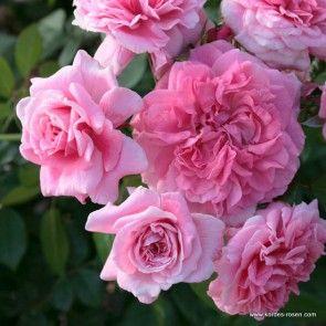 102 best wish list modern roses images on pinterest rose photos roses and rose bush. Black Bedroom Furniture Sets. Home Design Ideas