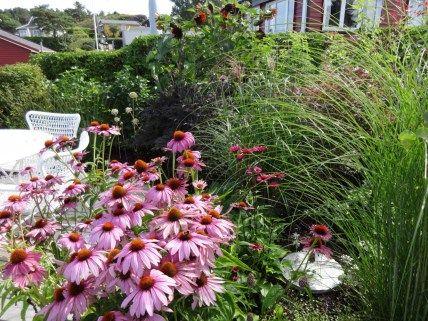 Echinacea purpurea 'Magnus' og 'Fatal Attraction'