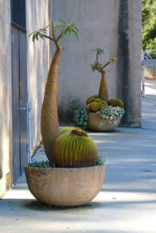 this cactus looks like a snail, right down to the 'feelers'.